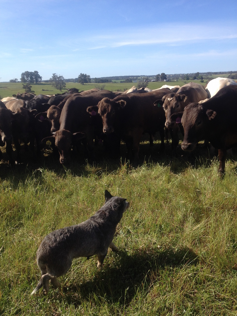 Bolly and the Blackwood Valley Herd